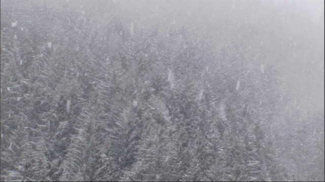 A blizzard descends on an evergreen forest. Available in HD.