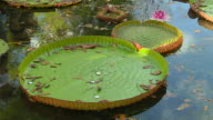 Block Shot Water Lily Pamplemousse Port Louis Mauritius