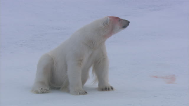 A blood-covered polar bear looks around and licks its paw in Svalbard, Arctic Norway.