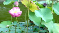 Bloom pink lotus in the pond