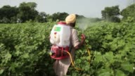 Jarnail Singh a retired teacher and farmer walks through a cotton field that has been sprayed with pesticides on his farm in Jajjal village Punjab...
