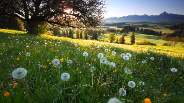blooming apple tree, view on alps, bavaria, germany