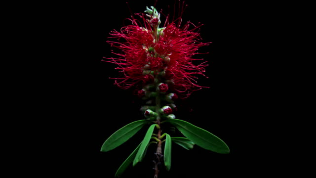 Blooming Bottlebrush Flower