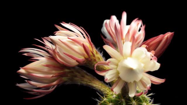Blooming Cactus Zeitraffer