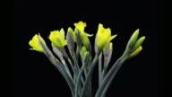 Fiorente Daffodils