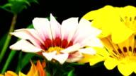 Blühende daisies in Zeitraffer-Videos