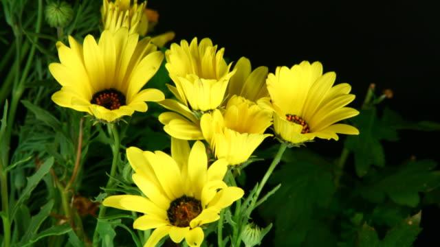 Blühende Gänseblümchen