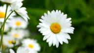Blumen Daisy Blume