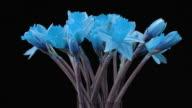 Blühenden Blumen. Fantastische Zeitraffer Sequence