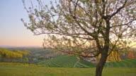 Blooming fruit tree at sunset