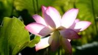 Bloeiende lotusbloem in de vijver HD Video