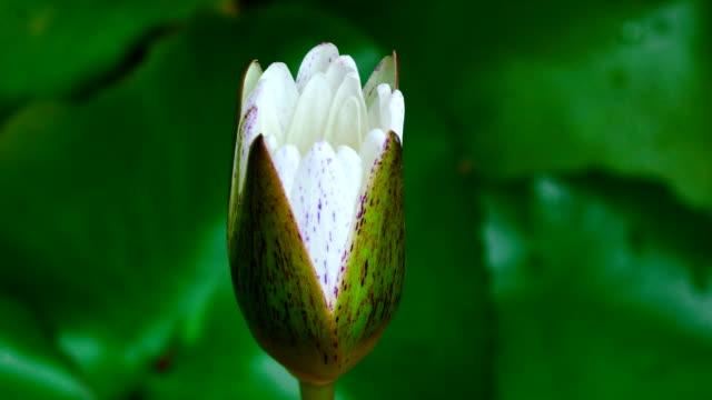 Blooming Lotus (Time-lapse)