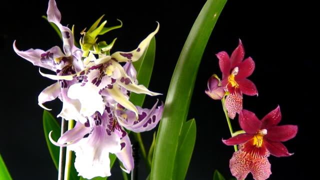 Blühende Orchideen Zeitraffer-Videos