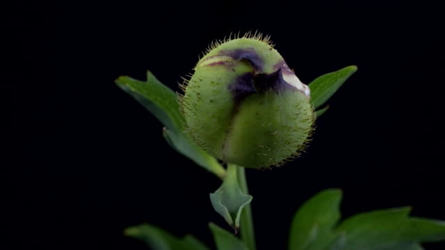 Blühende Poppy