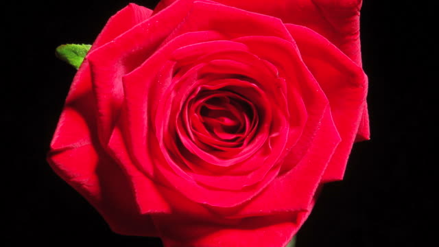 HD TIME-LAPSE: Blooming Red Rose