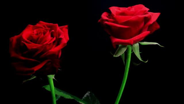 Blooming roses HD