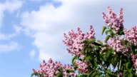Blooming syringa on background of sky.