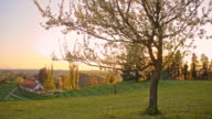Blooming tree on the hill at sunset
