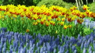 Blooming Tulips in Spring