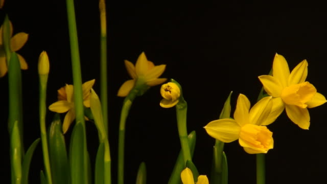 Blooming Winter Narcissus