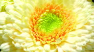 Blooming yellow Gerbera flower
