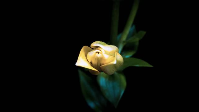 Blooming gelbe Lilie