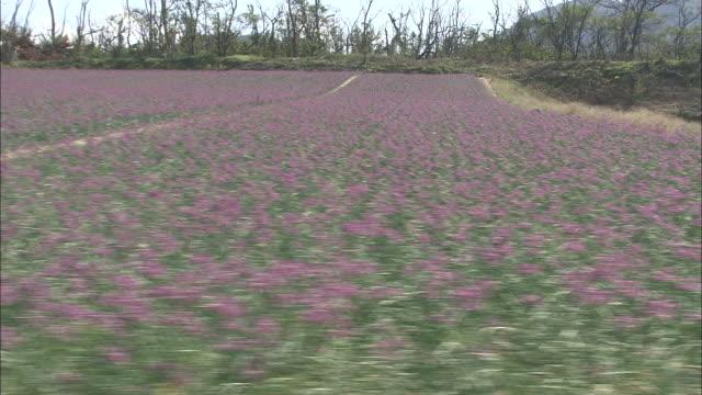 Bloomy Rakkyo Field, Tottori, Japan