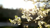 Blossom of plum tree in a sunny spring day
