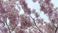 HD: Blossom Tree