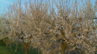 HD DOLLY: Blossom Trees In The Orchard