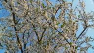 HD: Blossom Trees