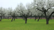 Blossoming of almond trees near Pollenca, Majorca, Balearic Islands, Spain