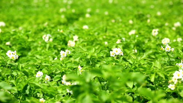 Blossoming Potato Field Close-up