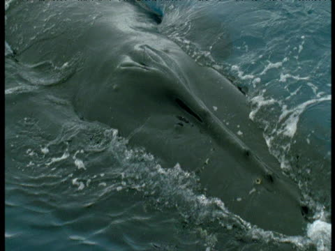Blow hole of Humpback whale just below surface, Antarctica