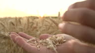 HD SUPER SLOW MO: Blowing Wheat Seeds