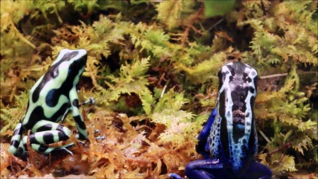 Blue and green poison dart frogs