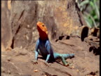 Blue and orange Agama lizard basks on rock