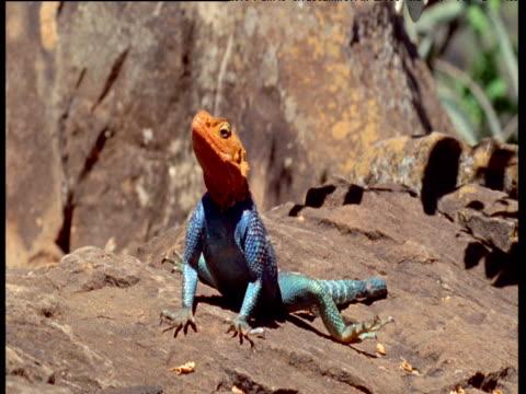 Blue and orange Agama lizard basks on rock