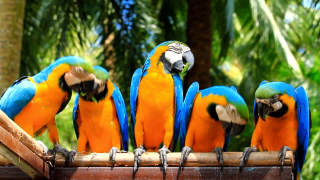 blue-and-yellow-macaw-video-id491064989?s=640x640