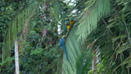 Blue and Yellow Macaws on a Peruvian rainforest palm tree