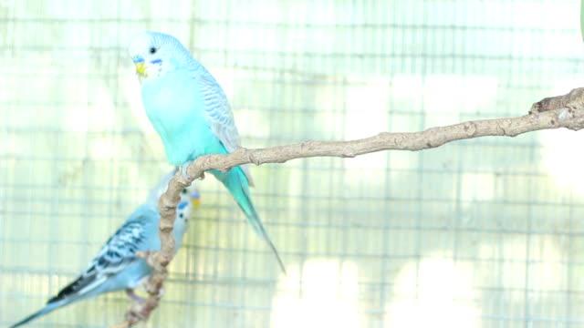 Blue Budgie