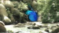Farfalla blu sul fiume