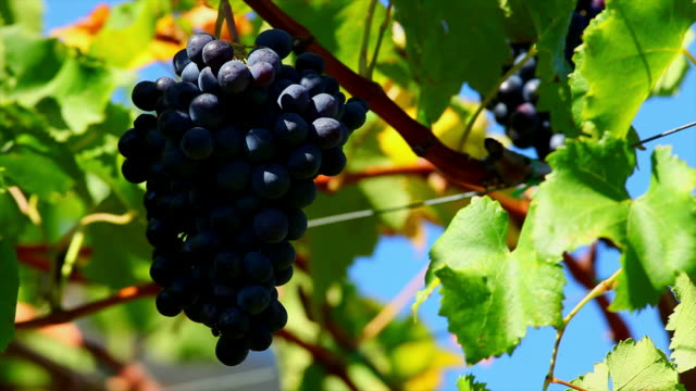 Blue Grapes in a Vineyard Close Up (Loopable)