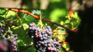 Blue Grapes in a Vineyard Tilt Down