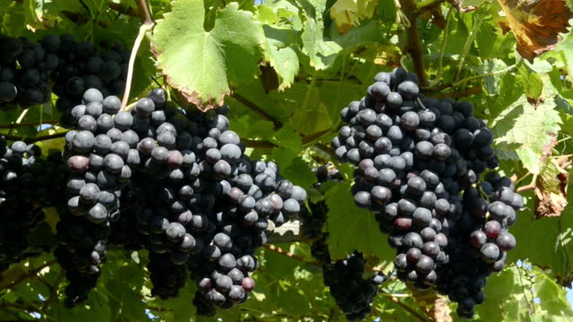 Blue grapes in Vineyard
