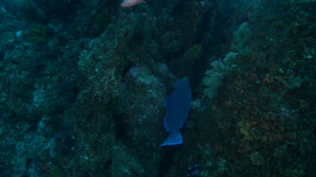 Blue humphead parrotfish in coral reef, Japan
