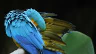 HD : Blue Macaw