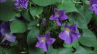 T/L, CU, Blue Morning glory (Ipomoea indica) flowers opening