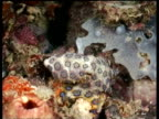 Blue Ring Octopus, moving over reef, changing colour, camouflaged, Mabul, Borneo, Malaysia