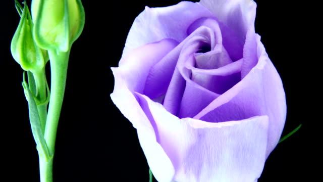 Blue rose blooming